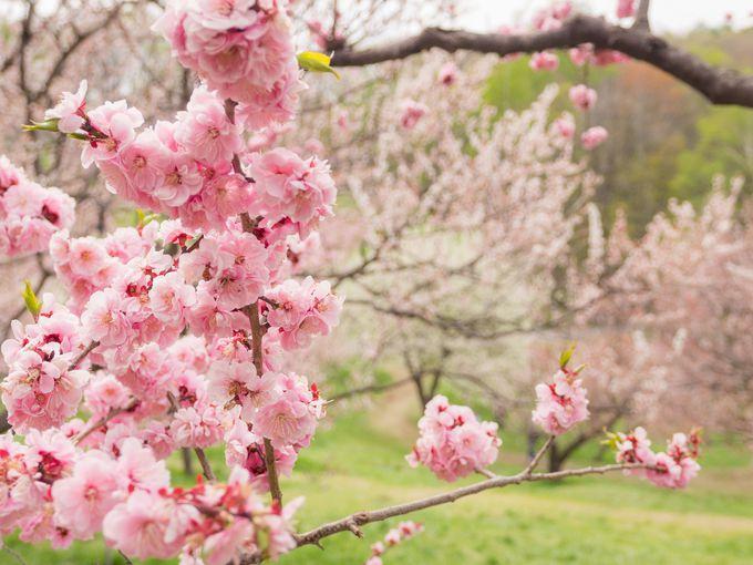 平岡公園は梅の名所!春には見逃せない「ひらおか梅まつり」