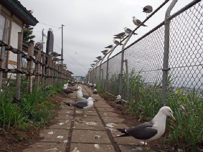 3万匹のウミネコがいる!「蕪島ウミネコ繁殖地」