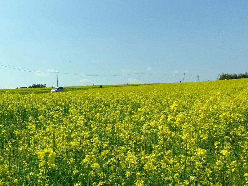 宮城県大崎市、稜線まで視界いっぱいに広がる菜の花