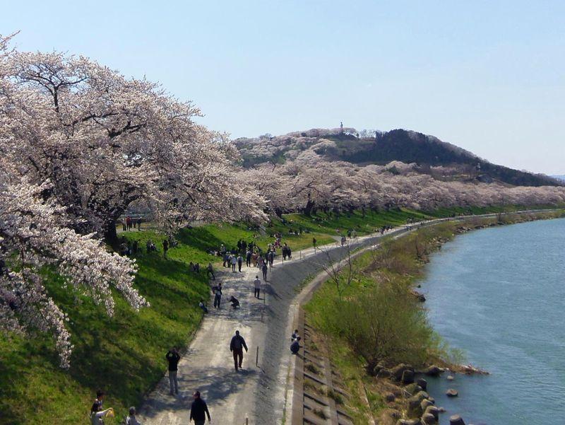 桜並木を満喫できる散策コースは電車移動も便利!船岡駅からスタート
