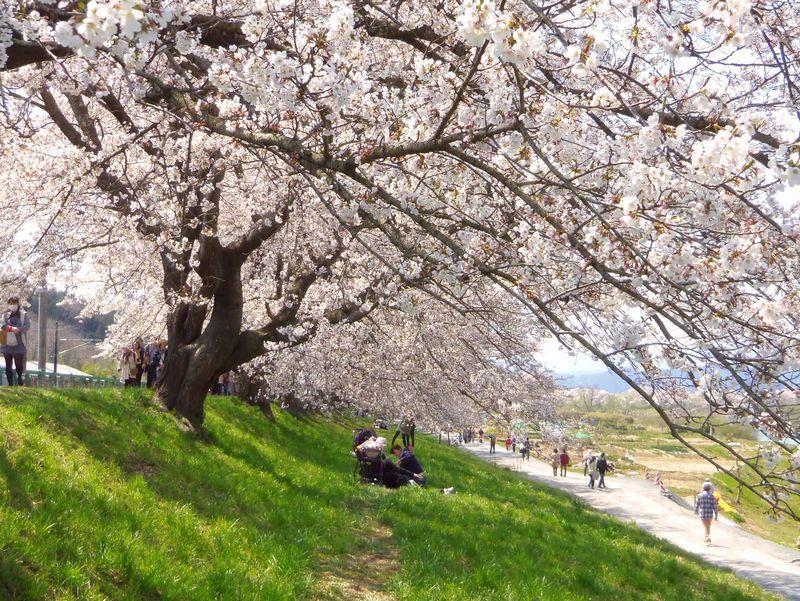 白石川堤の桜は、老木ゆえに木のボリュームの大きさも魅力