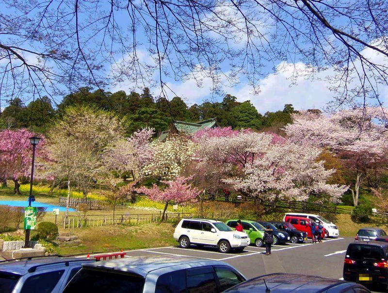 35品種もの桜が咲き誇る〜カラフルな桜の名所