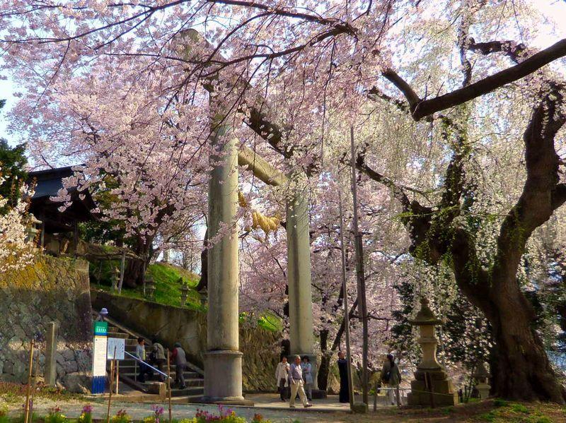 烏帽子山千本桜で一番のビュースポット「石造大鳥居」