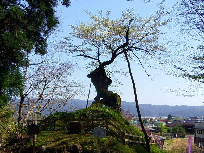樹齢約1,020年〜子守堂の桜(白鷹町)