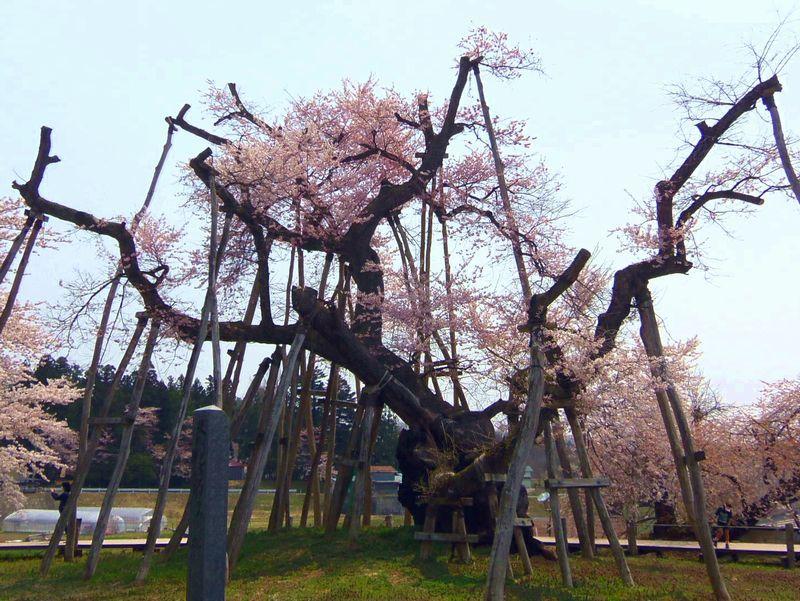 樹齢約1,200年〜伊佐沢の久保桜(長井市)
