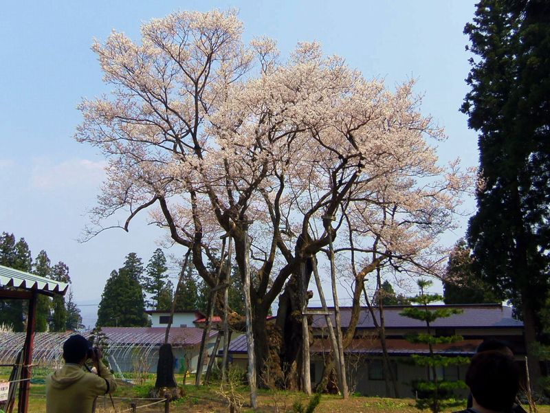 樹齢約1,200年〜草岡の大明神桜(長井市)