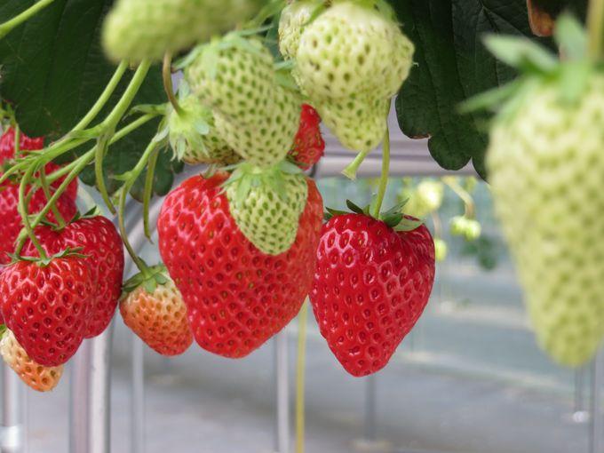 イチゴ狩り体験は1月〜5月末まで楽しめる!!