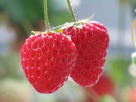 5月末まで楽しめる!!イチゴ狩り&甘〜いイチゴ食べ放題♪嶋村屋くまがやいちご園