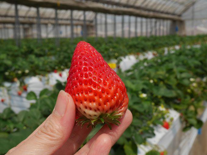 イチゴの品種は紅ほっぺ