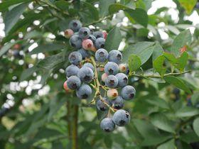 埼玉・美里町「もちだブルーベリー園」で甘くて大粒ブルーベリー狩りを楽しもう!