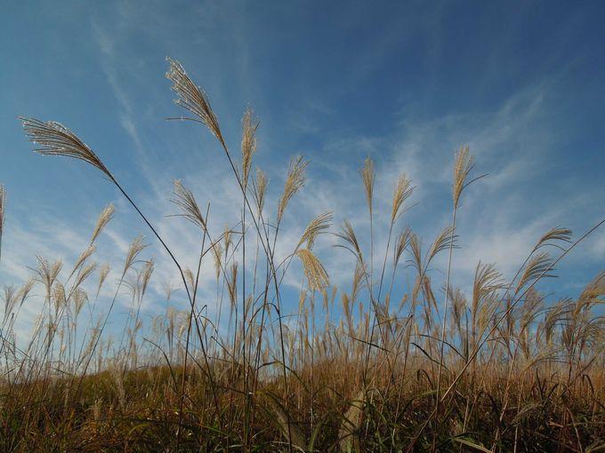 秋の空と金・銀に輝くすすきの穂は見事なコントラスト