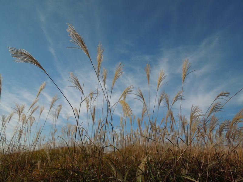銀色に金色に、ススキが輝く曽爾高原の秋