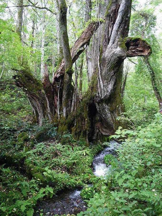 但馬高原植物園の『和池の大カツラ』