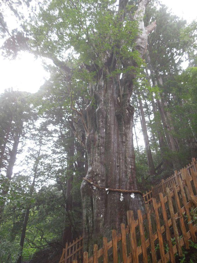 巨大な杉の森に圧倒されつつ