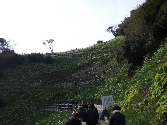 水仙の日本三大自生地 淡路島にある水仙の名所「灘黒岩水仙郷」と「立川水仙郷」