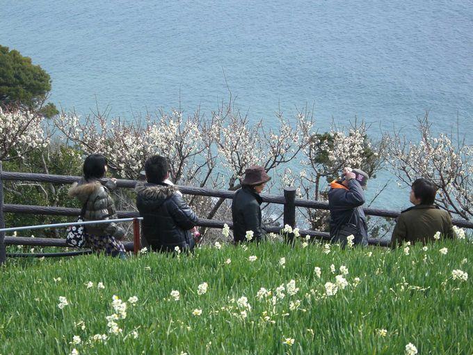 灘黒岩水仙郷で早春の香りに包まれて(兵庫県淡路島)