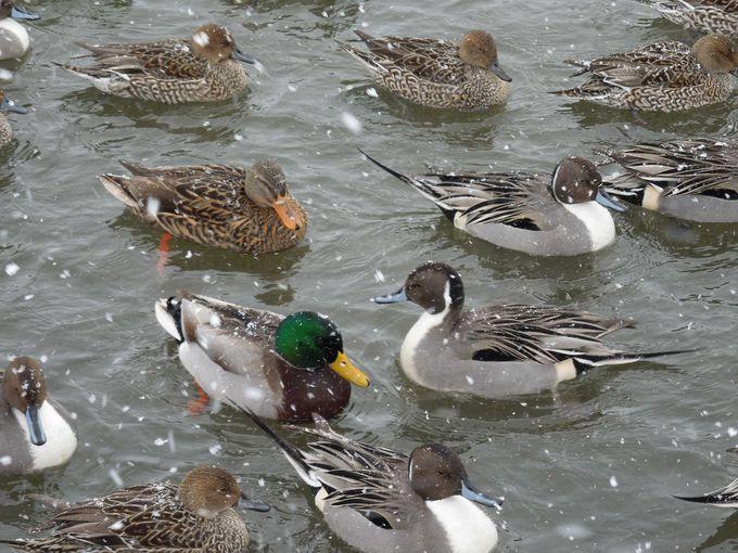 最上川には渡り鳥たちが
