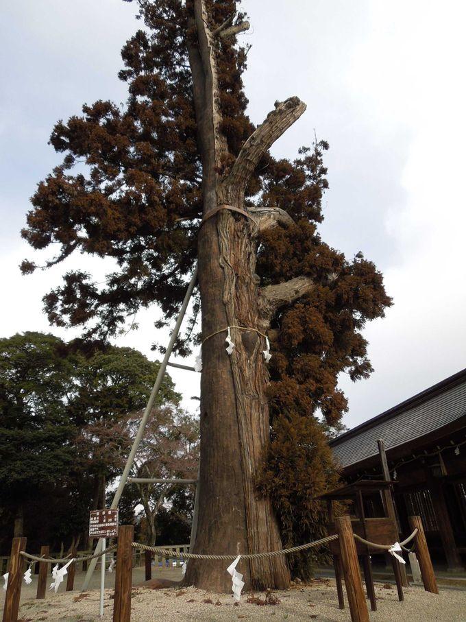 堂々と立つ、ご神木『平安杉』