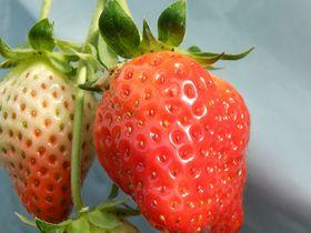 三重県最大級の農園『こうちく男爵』でイチゴ狩り!デビュー5年目の新種かおり野を食べつくそう!