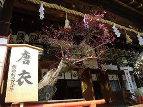 梅の花の香りが漂う大阪天満宮の冬。厳冬期だからこそ楽しめるお花見にお出かけ!