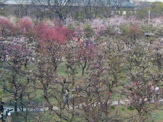 見ごろが長〜い『大阪城梅林』は3月末まで楽しめます!