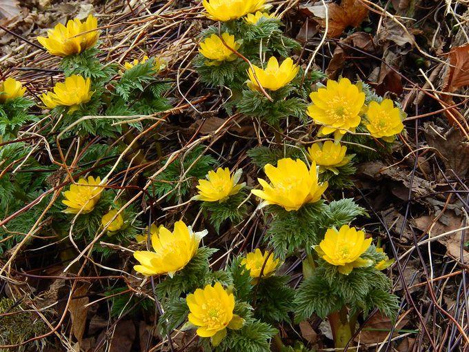 斜面を黄色に染める『福寿草』の群生地