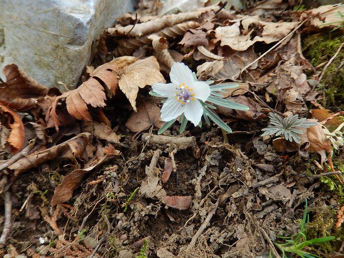 花の百名山・藤原岳で見られる春の花々