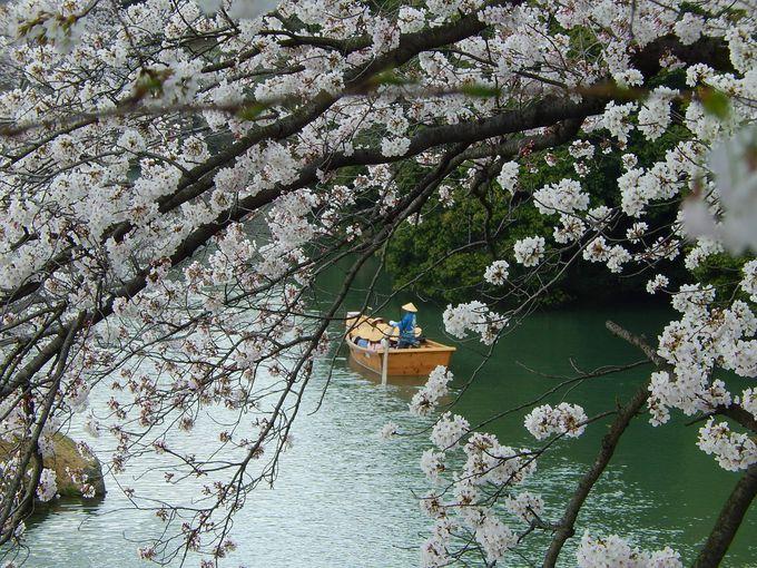 ナンバー5は『和船』に乗って、内壕の桜を満喫