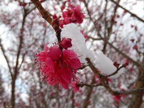 山と谷にある梅の名所ならココ!奈良の賀名生梅林と広橋梅林