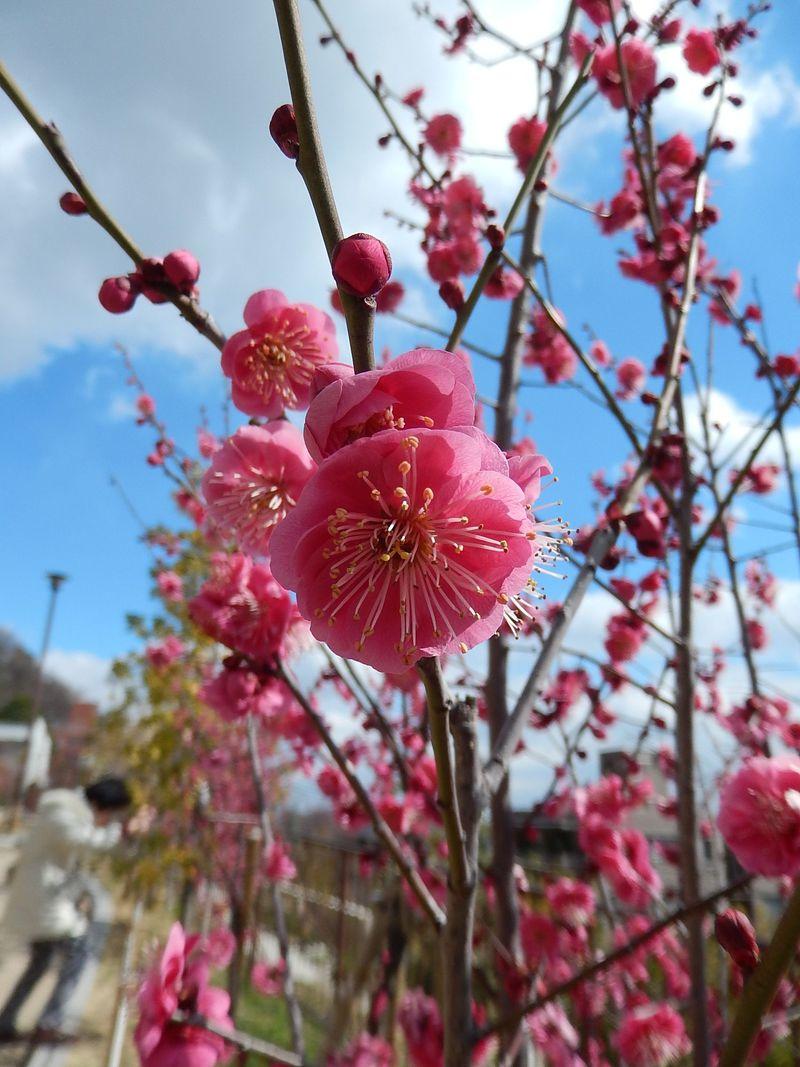 神戸に梅の名所復活!岡本梅林から保久良梅林ウォーキング
