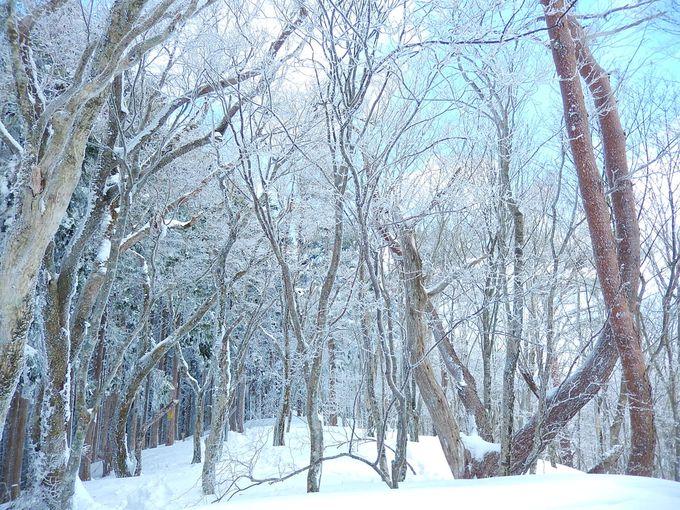 気持ちいいブナ林は霧氷の宝庫