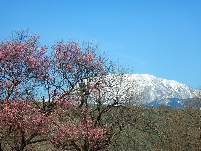 日本百名山・伊吹山の麓に咲く