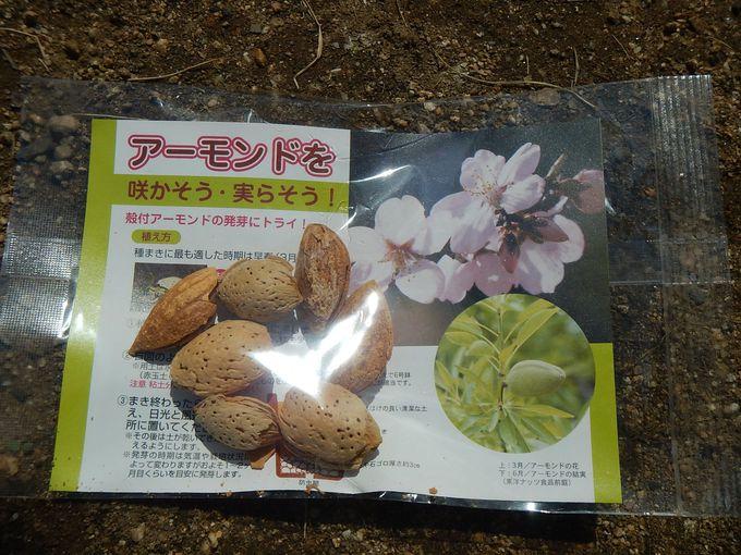 アーモンドの苗木と種