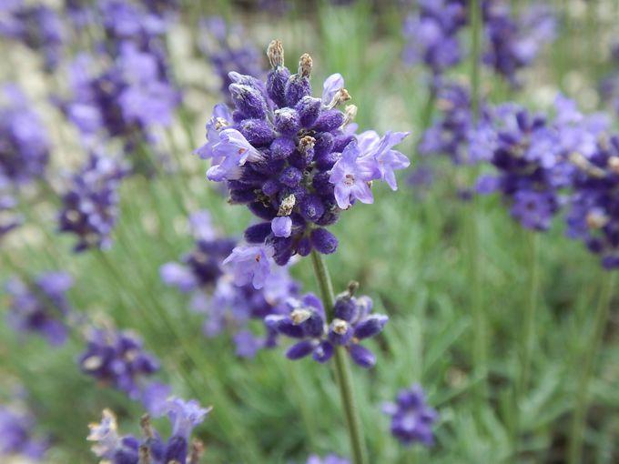 ラベンダーパークで見られる花