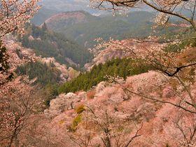 圧巻!山肌が桜色に染まる奈良・吉野千本桜を求めてお花見登山