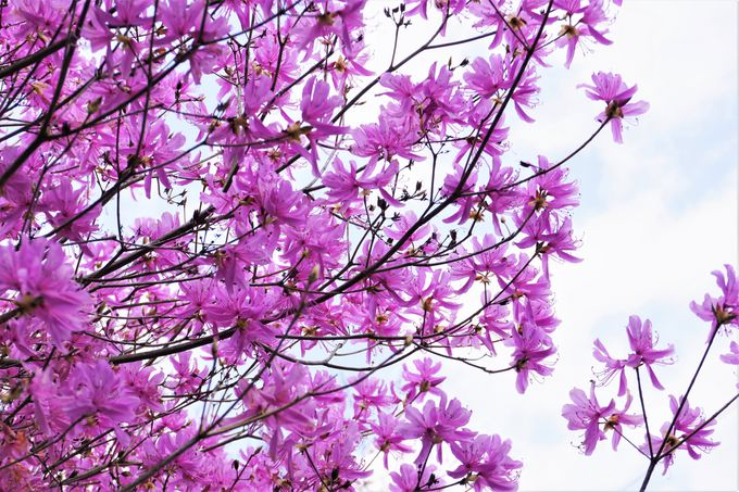 快適なミツバツツジの咲く「ツツジ尾根」