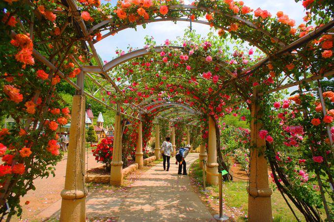 日本一長いバラの回廊の中を歩いてみよう