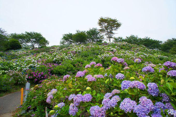 裏山の一角に咲き誇る色とりどりのあじさい