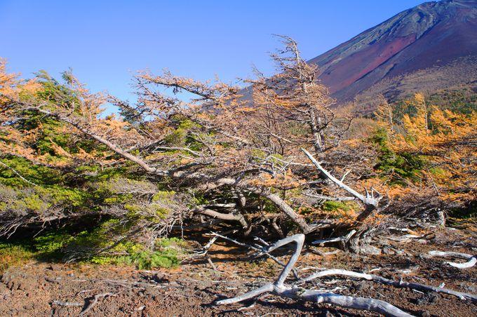 富士山の厳しい自然環境を物語る木々
