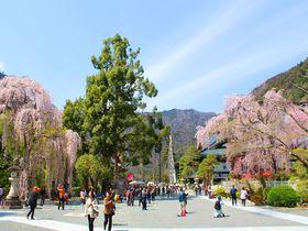 日蓮宗の総本山に樹齢400年のしだれ桜!山梨・身延山久遠寺