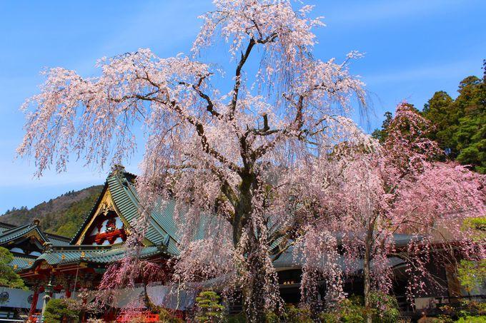 日蓮宗の総本山に樹齢400年のしだれ桜「山梨・身延山久遠寺」