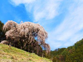 丘の上に咲き誇る知る人ぞ知るしだれ桜!山梨・乙ヶ妻の桜