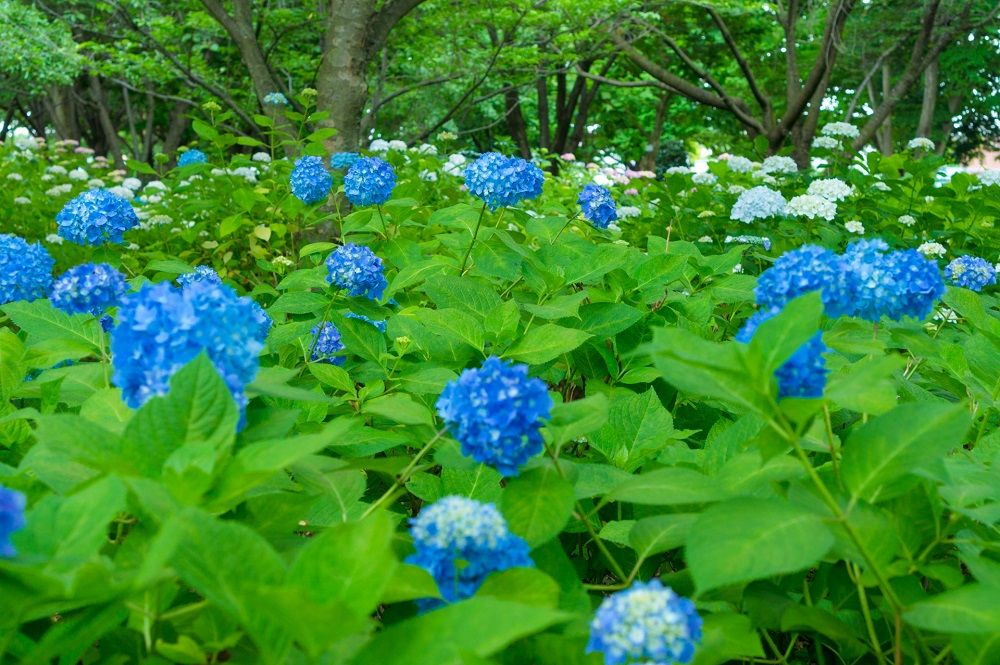 〜夏〜一面がアジサイ畑!?色とりどりのアジサイ園を堪能しよう