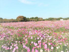 福岡「海の中道海浜公園」で秋の花を満喫!一面のコスモスやコキア