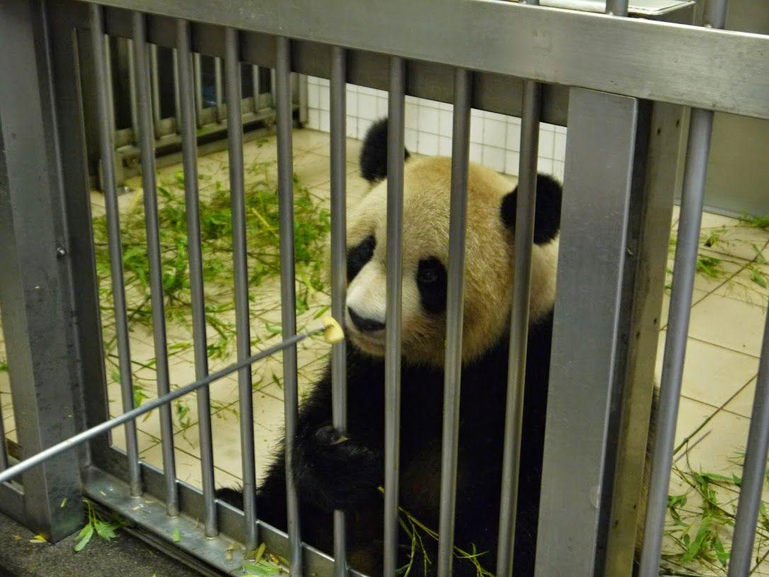 パンダに大接近!直接エサもあげられる大人気のツアー♪