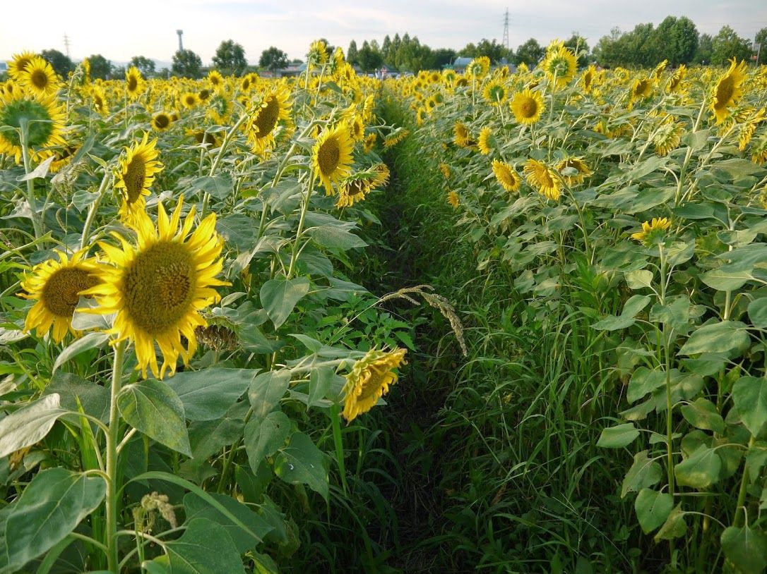 歩ける「ひまわり畑」は、まるでトンネルのよう♪