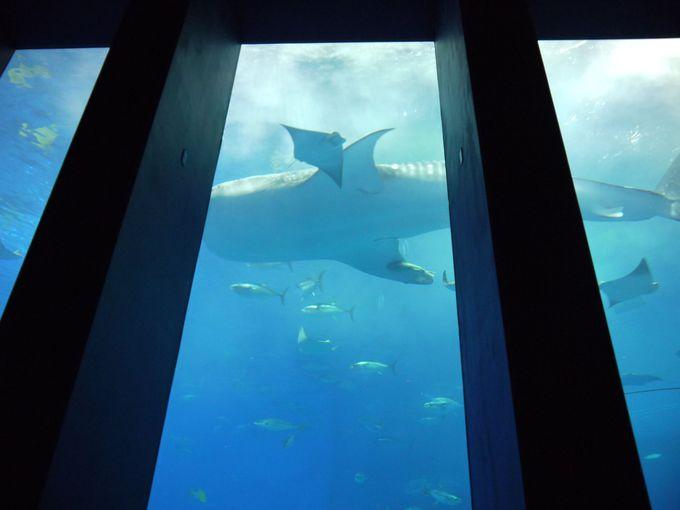 座ってボーっと見てると、ジンベイザメが目の前を!