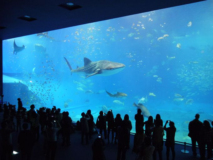 全ての人に感動を与えてくれるジンベイザメが泳ぐ巨大水槽!!
