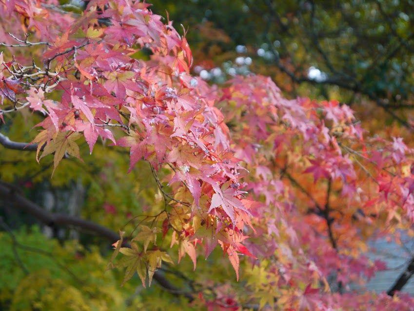 奈良公園の紅葉は黄色が多いので赤が映え、ますます美しい!!