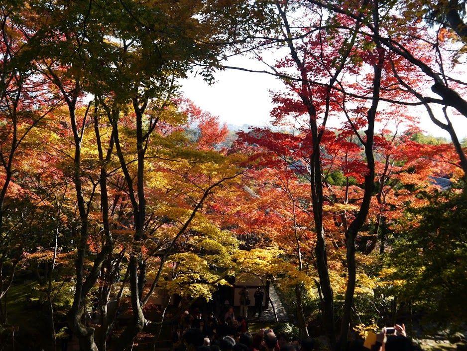見上げれば、紅葉のアーチ♪常寂光寺の美しい紅葉!